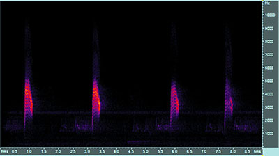 Vocalization of the common nighthawk