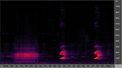 Vocalization of the red-bellied woodpecker