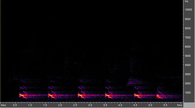 Vocalization of the yellow-billed cuckoo
