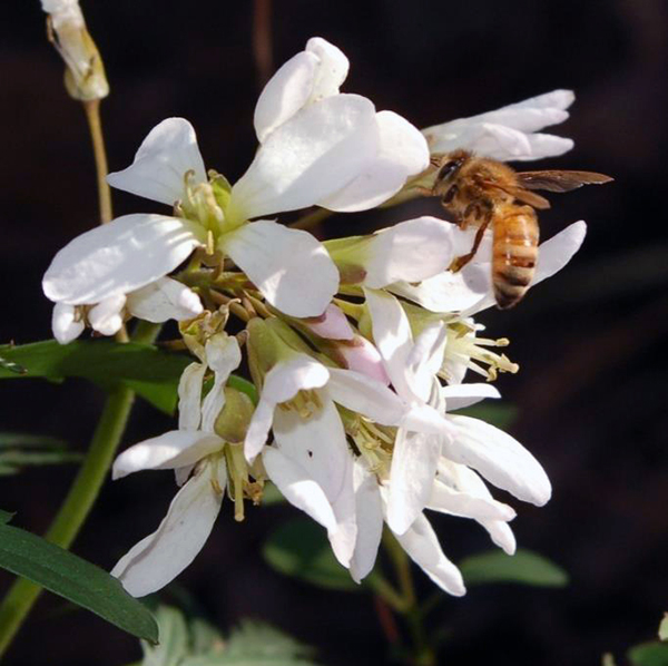 Toothwort with bee